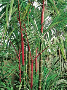 Lipstick palm: Dress up your palm garden
