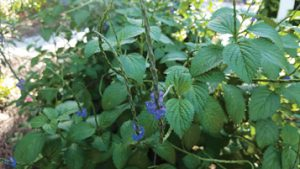 Blue Porterweed is a Butterfly Attractant