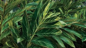 Variegated ginger – add color to shady areas