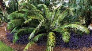 Cycad: the ancient plant