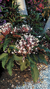 Starburst clerodendrum: bursting with blooms