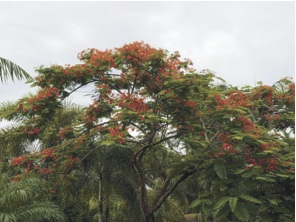 Royal poinciana: Queen of summer