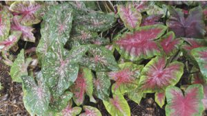 Caladiums: My summer color