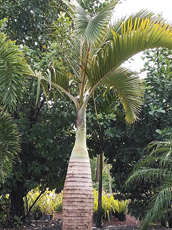 In the Garden: The bottle palm