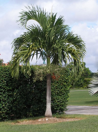Adonidia Palm Easy And Elegant Rs Walsh Landscaping Inc