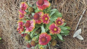 Gaillardia: Blanket of Sunshine