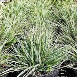 Fall in Love with this Native Lovegrass