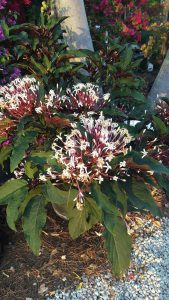 Starburst Clerodendrum – Bursting with Blooms!